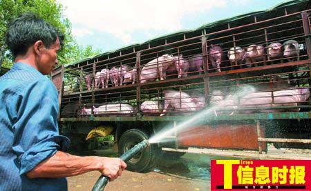 工人在为即将从湖南运往广州的生猪洗澡、降温。 朱元斌 摄