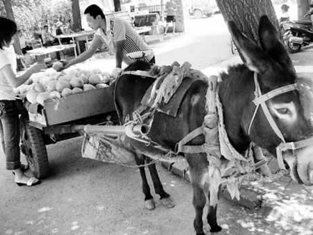 沈阳小贩夏䲹l�9i��kd_卖瓜小贩雇驴车充老农 业内人士提醒勿上当(图)