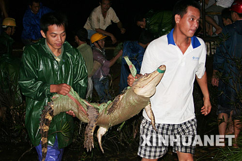 边防大队干警将查获的鳄鱼抬下铁壳船,实行临时安全保护(7月22日摄)。