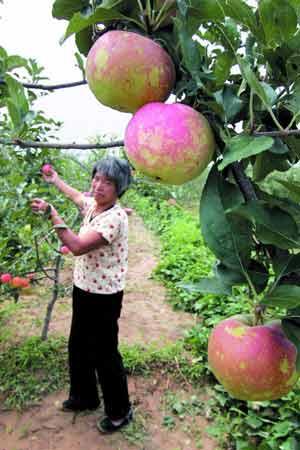 原本光滑的苹果表面被冰雹打得布满小坑。本报记者 宁峰 摄