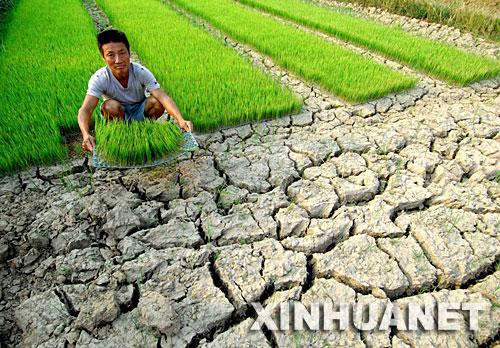 江西新干县溧江乡徐家村村民徐球如在自家的秧苗田里。(7月31日摄)。