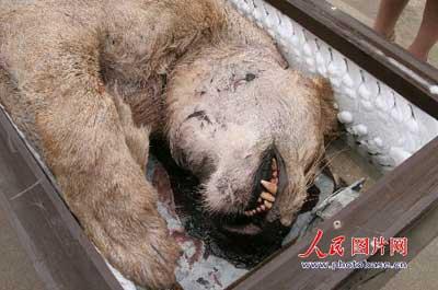 江苏新沂动物园章鱼咬死饲养员的照片;江苏新沂动物园咬死饲养员的狮狮子喷墨一头图片