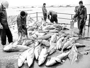 死鱼铺满码头。
