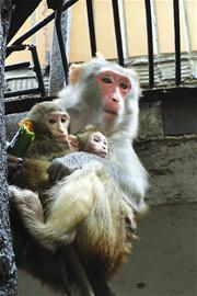 """猕猴""""美美""""抱着刚满月的双胞胎宝宝"""