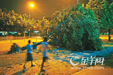 :广州昨天傍晚风雨大作,西槎路大树被刮倒.本报记者 何奔 摄-圣图片