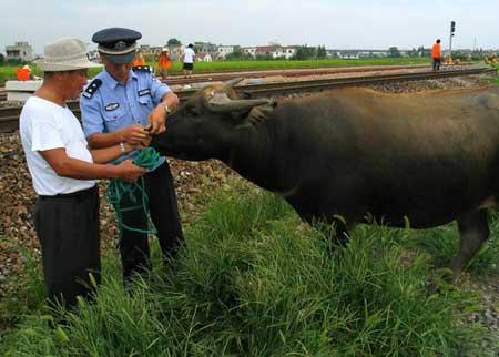 """铁路民警正在给耕牛系上""""安全绳""""。"""