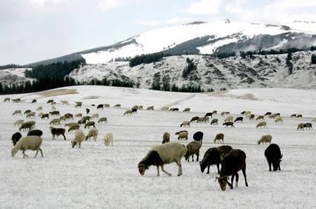 飘落的雪花让初秋的天山披上了银装,群羊在雪地里觅食