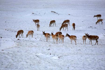 GORE TEXr情系可可西里 支助藏羚羊保护事业
