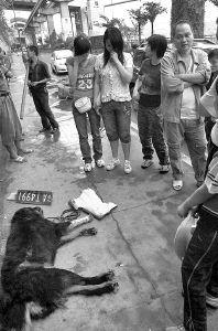 为被撞死的藏獒躺在路边,狗主人(图中左边两个女孩)与出租车司机(右一)协商赔偿。
