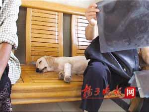 这就是那只做了12次CT的小狗。吉启雷