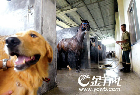 图文:探访奥运马术广州备用马 给马洗澡是关键