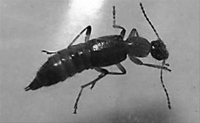 被市民称为飞蚂蚁的隐翅虫