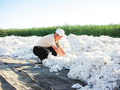 在新疆采棉花的日子(组图)