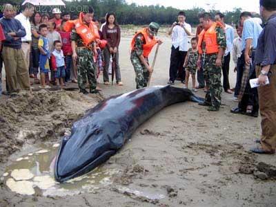 这条鲸鱼昨日因台风迷失航向,搁浅在长乐海滩 陈其 包华 摄