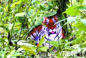 ■10月3日,陕西镇坪县城关镇文彩村村民周正龙在文彩村神州湾拍摄的老虎