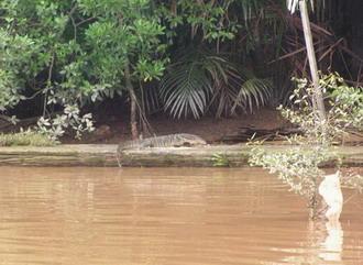 科莫多巨蜥捕食花纹蟒蛇全程