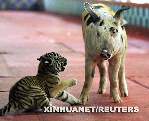 10月16日,在泰国中部春武里府,一头猪和一只幼虎在动物园内嬉闹。