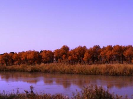 塔里木河岸边的胡杨林