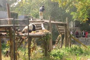 熊猫在追逐跳入运动场内的男孩。本报读者 于先生 摄