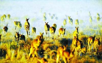 绿色和平组织的呼吁让视袋鼠为国宝的澳人难以接受 资料图片