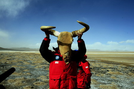 可可西里风化的野牦牛头骨