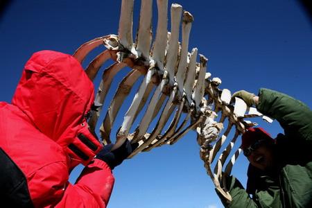 在可可西里发现棕熊遗骸