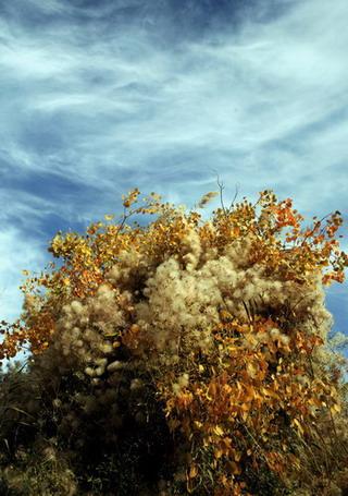 风吹棉花抱满树