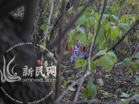 北京网友拍出的华南虎照片