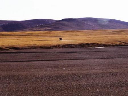 奔向远处的野牦牛