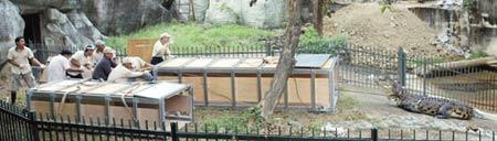 动物园人员齐力将鳄鱼拉进笼子。