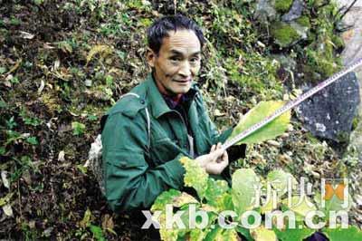 ■周正龙丈量这片叶子有30公分。