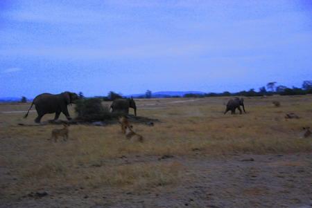狮子 非洲象/草原上真正无敌霸主 非洲象追狮群赶犀牛