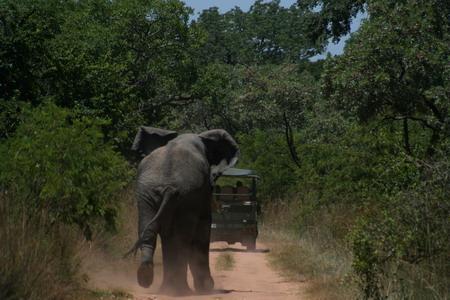非洲象 犀牛 霸主 草原上 真正 无敌/草原上真正无敌霸主 非洲象追狮群赶犀牛