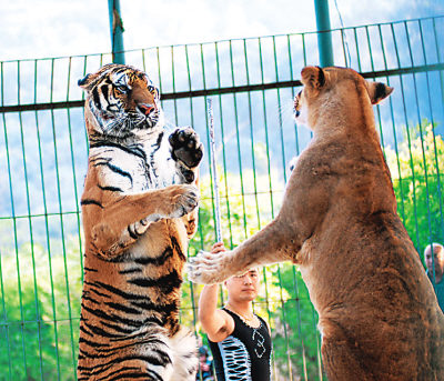 老虎与狮子表演直立