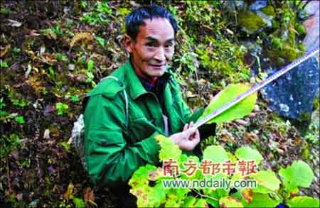关克博客发布的照片,周正龙正在测量一片超过30厘米长的树叶。照片后来被删除,关克认为可能是黑客干的。