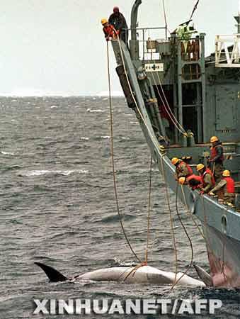这是2000年1月12日,日本捕鲸船在南太平洋海域捕获小须鲸的资料照片。 新华社/法新
