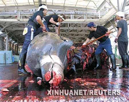 6月21日,在日本东京以东的一个港口,渔夫正在分解一条11吨重的突吻鲸。由于人类的捕杀,目前全世界13种鲸中已有至少5种濒临灭绝。新华社/路透