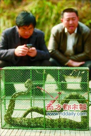 """一条被称为""""蛇中熊猫""""、""""小青龙""""的珍稀动物——莽山烙铁头在广东北部某山区被正式捕获?韶关护林员称是11月15日巡山时捉到的。本报记者卢汉欣摄"""