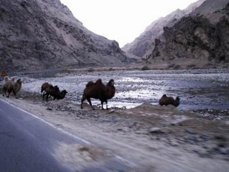 路边的骆驼