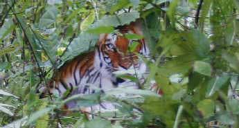 陕西林业厅展示71张原始虎照。