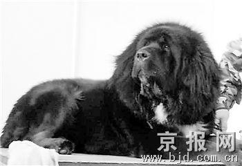 300只世界名犬昆明展技 一条藏獒叫价千万(图)