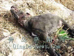 前天晚上,村民王动基家养的40多斤重的黑狗被饿狼一口咬断了喉管