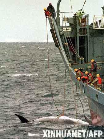 """日本政府定于18日开始今年的南太平洋捕鲸活动。同往年一样,日本依旧打起""""科学研究""""的旗号,但在今年捕杀名单中,座头鲸赫然在列。这将是国际捕鲸协会1963年禁止在南半球捕杀座头鲸以来,首次有国家大规模捕杀这一濒危物种。这是2000年1月12日,日本捕鲸船在南太平洋海域捕获小须鲸的资料照片。新华社/法新"""