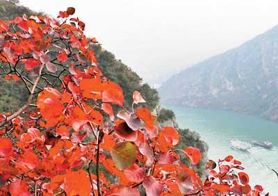 昨日上午9点,中国重庆首届长江三峡红叶节开幕式在巫山盛大举行.图片