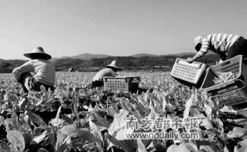 菜农在采摘蔬菜。在从化吕田狮象村的有机蔬菜基地,这些菜在种植过程中未加入任何农药和化肥。记者范舟波摄