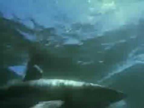 全程实拍深海霸主虎鲸如何撕碎大白鲨(组图)-搜
