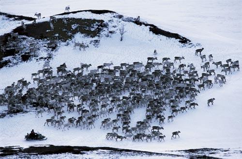 挪威驯鹿大迁徙