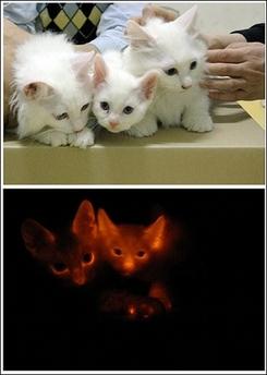 韩国/由韩国科学技术部公布的对比照片显示出3只具有荧光蛋白基因的...