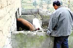 早上他到地里去拔萝卜,用背篓背回来,然后剁碎煮了喂猪