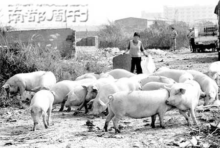 无处容身  的猪被赶到村边。